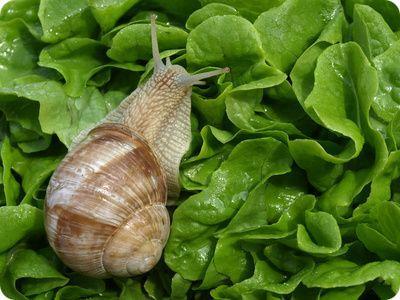 Comment lutter efficacement contre les limaces et autres for Lutter contre les vers des salades